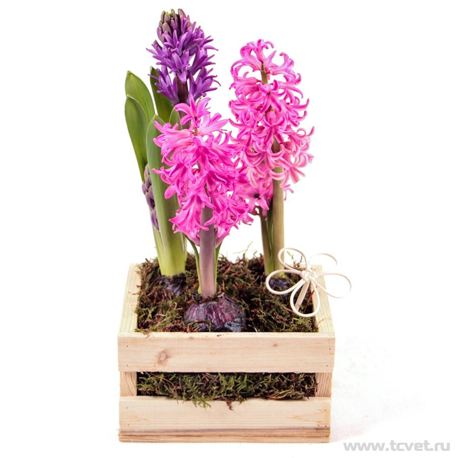 Композиция «Первоцветы» гиацинты